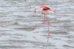 Flamingo, der in die Lagune an der Walfischbucht geht Lizenzfreie Stockbilder