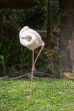 Flamingo, der durch die Stellung auf einem Bein schläft Lizenzfreie Stockfotos
