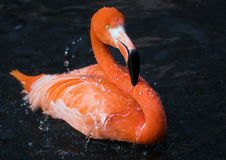 Flamingo, der ein Bad nimmt Lizenzfreie Stockfotografie