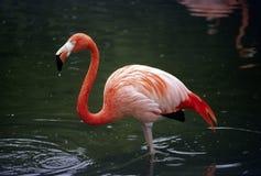 Flamingo, der in einem Teich steht Lizenzfreie Stockfotografie