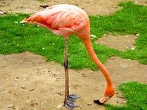 Flamingo, der nach Lebensmittel sucht Stockbilder