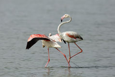 Flamingo, der seinen Begleiter drückt stockbild