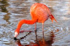 Flamingo, der seinen Kopf löscht Lizenzfreie Stockbilder