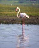 Flamingo - der Vogel, der hoch steht Stockfoto