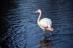 Flamingo des kleinen Fingers im blauen Wasser Lizenzfreie Stockbilder
