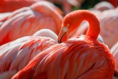Flamingo. Detail of flamingo head with nice yellow eye stock images