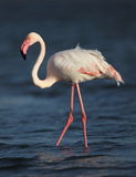 Flamingo. Detail in naturel animals Stock Photography