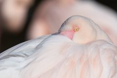 Flamingo, detalhe Fotografia de Stock Royalty Free