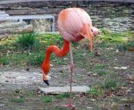 Flamingo dichtbij het meer Stock Afbeeldingen