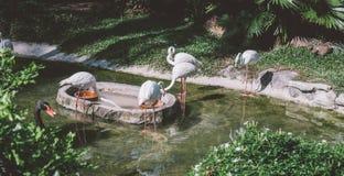 flamingo dichtbij water in de dierentuin het nbreeding en het leven van flamingo's in gevangenschap Stock Afbeeldingen