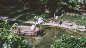 flamingo dichtbij water in de dierentuin het nbreeding en het leven van flamingo's in gevangenschap Royalty-vrije Stock Afbeelding