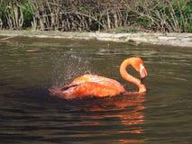 Flamingo die een bad heeft Stock Fotografie