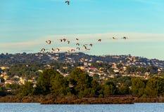Flamingo die in het stadsmeer vliegen stock foto