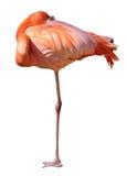 Flamingo, die met één omhoog been rust Royalty-vrije Stock Foto's