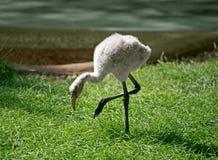Flamingo do bebê Imagem de Stock