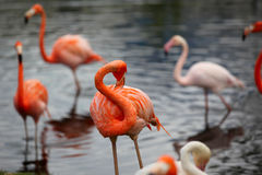 Flamingo do Cararibe Fotografia de Stock Royalty Free