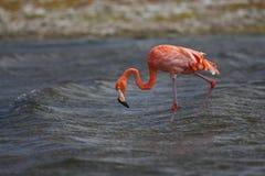Flamingo do Cararibe (ruber de Phoenicopterus) Imagem de Stock