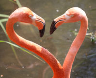 Flamingo do coração, para o Valentim Fotografia de Stock Royalty Free