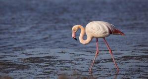 Flamingo do ligamento Imagem de Stock Royalty Free