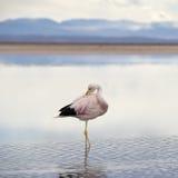 Flamingo do rosa selvagem. Foto de Stock