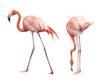 Flamingo dois fotos de stock royalty free