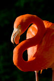 Flamingo Dollar. Flamingo - portrait of a pink flamingo Royalty Free Stock Photos