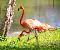 Flamingo door een meer Stock Foto