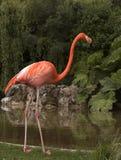 Flamingo door Water stock foto