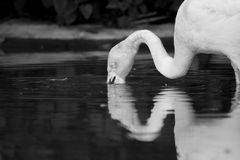 Flamingo drinking Stock Images