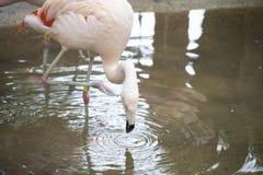 Flamingo Drinking Stock Image