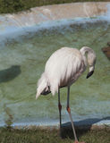 Flamingo Drinking Royalty Free Stock Photo