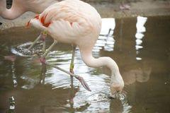 Flamingo Drinking Royalty Free Stock Image