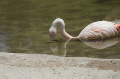 Flamingo Drinking Stock Photos