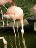 Flamingo drinking water Stock Photo