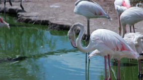 Flamingo drinking water and cleaning itself 1. Flamingo drinking water and cleaning itself using its beak stock footage