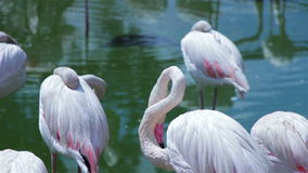 Flamingo drinking water and cleaning itself 2 stock footage
