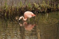 Flamingo Drinking Water Stock Photography