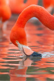 Flamingo. Drinking water from pond stock photos