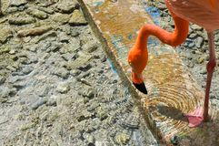 Flamingo drinking water royalty free stock image