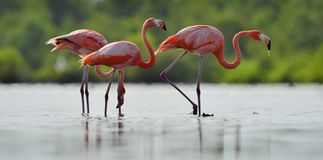 The  flamingo drinks water Stock Photography