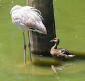 Flamingo Duck Gramado Zoo Brazil Stock Photo