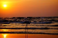Flamingo durante o tempo do por do sol na praia Imagem de Stock Royalty Free