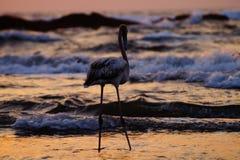 Flamingo durante o tempo do por do sol na praia Imagem de Stock