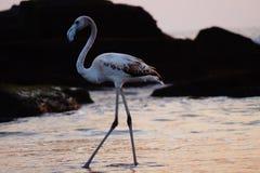 Flamingo durante o tempo do por do sol na praia Foto de Stock Royalty Free