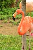 Flamingo e árvore Fotografia de Stock