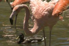 Flamingo e pato fotos de stock