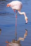 Flamingo e reflexão Foto de Stock Royalty Free