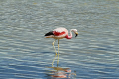 Flamingo eating  in Royalty Free Stock Photography