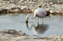 Flamingo eating  in salt lake lagoon Chaxa Royalty Free Stock Photography