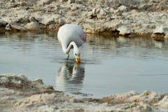 Flamingo eating  in salt lake lagoon Chaxa Royalty Free Stock Image